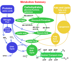 steps-involved-in-lipid-metabolism1