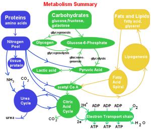 steps-involved-in-lipid-metabolism1