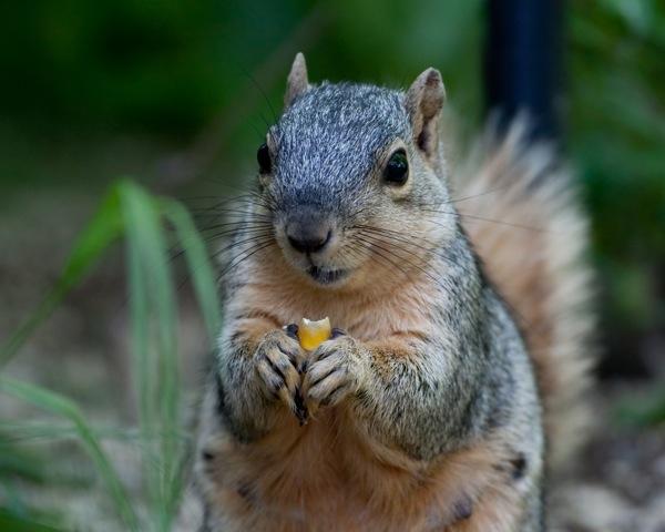 squirrel_1503