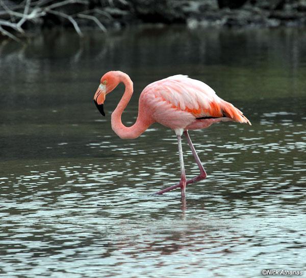 American-Flamingo-gal-5596
